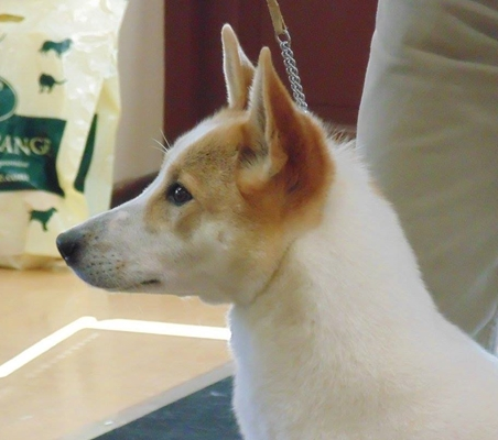 Are Canaan Dogs Good Family Pets