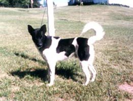 Canaan Dogs of Anacan - Briel Kennels