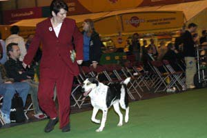 Ziggy at Crufts